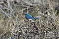 Mountain Bluebird on Ochoco National Forest (24857735853).jpg