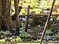 Moustached Warbler (Acrocephalus melanopogon) (34455736595).jpg