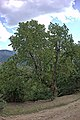 Mulberry tree near Gostivisht 4.jpg