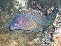 Muraena helena Linosa Secchitella 014.jpg
