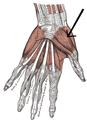 Musculusabductorpollicisbrevis.png