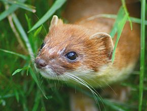 Mustela Erminea head.jpg