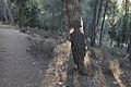 My Shadow on a Pine Trunk in Jerusalem Forest (1) (7779776580).jpg