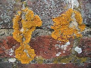 Crustose lichen - Crustose lichens on a wall