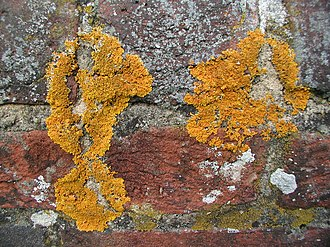 Crustose lichen - Crustose lichens on a wall