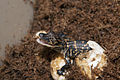 NASA Kennedy Wildlife - Juvenile Alligator hatches (2).jpg