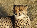 Namibian Cheetah.jpg