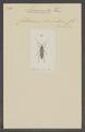 Naomorpha - Print - Iconographia Zoologica - Special Collections University of Amsterdam - UBAINV0274 033 28 0005.tif
