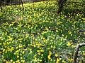 Narcissus eugeniae 3.jpg