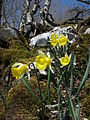 Narcissus pseudonarcissus subsp. pseudonarcissus, J. Garmendia 1171.JPG