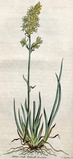 Narthecium americanum CBM.png
