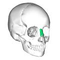 Nasal bone anterior2.png