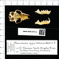 Naturalis Biodiversity Center - RMNH.MAM.24735.a pal - Macroderma gigas - skull.jpeg