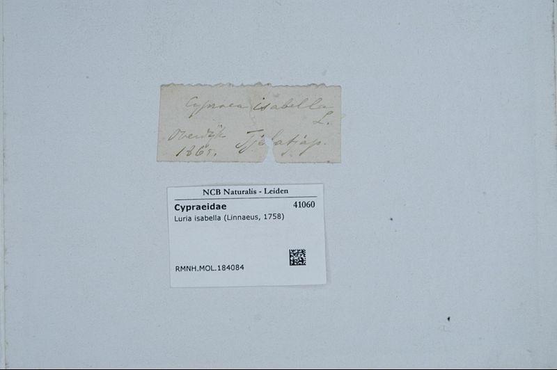 File:Naturalis Biodiversity Center - RMNH.MOL.184084 1 - Luria isabella (Linnaeus, 1758) - Cypraeidae - Mollusc shell.jpeg