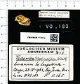 Naturalis Biodiversity Center - ZMA.MAM.11165.a lat - Mops condylurus - skull.jpeg