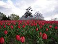 NavyMarineMemorial tulips.jpg