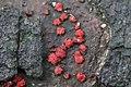 Nectria cinnabarina 98529452.jpg