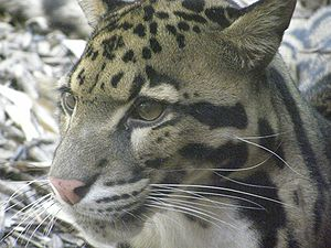 Clouded leopard - Close-up of face