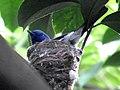 Nesting (17079761227).jpg