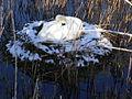 Nesting swan - geograph.org.uk - 751960.jpg
