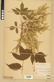 Neuchâtel Herbarium - Acer negundo - NEU000026053.tiff