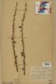 Neuchâtel Herbarium - Larix decidua - NEU000003679.tif