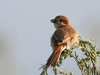 Μεγάλο μαύρο πουλί αρσενικό διαβρωτικά