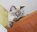 Nevskaya Maskaradnaya Catty.jpg