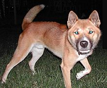 A picture of an orange new guinea singing dog at night, illuminated by camera flash. The camera flash has caused the dog's eyes to reflect green.