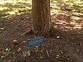 Newton's tree, Botanic Gardens, Cambridge (sign).jpg