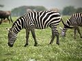Ngorongoro Zebra - Flickr - gailhampshire.jpg