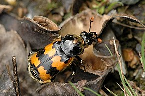 alt=Description de l'image Nicrophorus.vespillo.jpg.