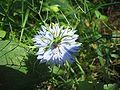 Nigella-damascena-JungferImGarten.jpg