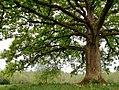 Norica Big oak.jpg