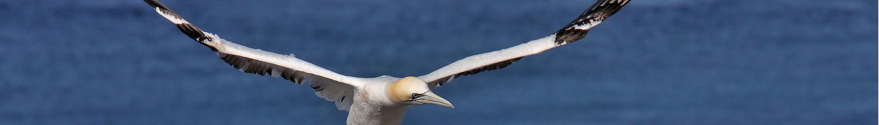 Gannets nest at Heligoland
