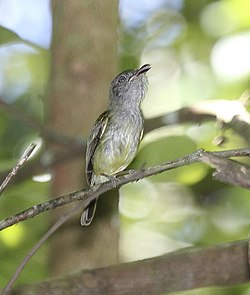 Northern Bentbill (Oncostoma cinereigulare) (5771914809).jpg