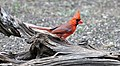Northern Cardinal. NRCS photo by Beverly Moseley. (24483122084).jpg