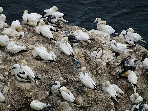 Northern Gannets nesting on Scale Nab, Bempton Cliffs