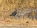 Northern Lapwing (Vanellus vanellus) (33645730943).jpg