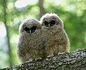 Northern Spotted Owlets.jpg