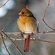 Northern cardinal female in CP (02035).jpg