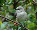 Northernmockingbird.jpg