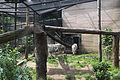 Nyíregyháza Zoo, Panthera tigris tigris, mutatio alba-3.jpg