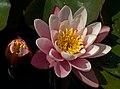 Nymphaea flower Botanical Garden Munich Nymphenburg IMGP1544.jpg