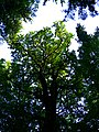 Oak - panoramio (11).jpg