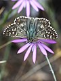 Oberthür's Grizzled Skipper (28409881374).jpg
