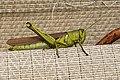 Obscure Bird Grasshopper (Schistocerca obscura) Virginia 3.jpg