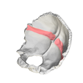 Occipital bone - Groove for transverse sinus - close-up3.png