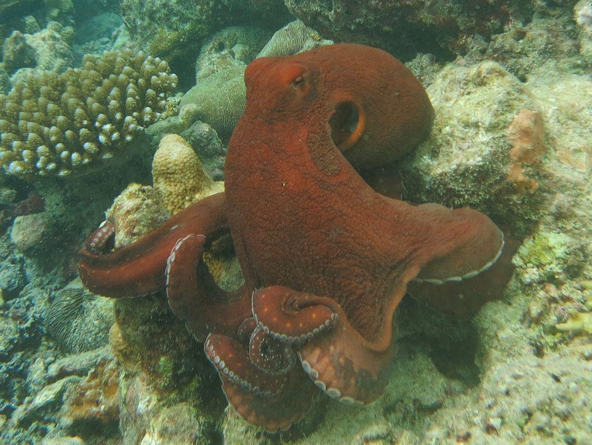 Octopus Cyanea Wikipedia