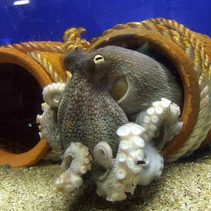 Pain in cephalopods - The common octopus (Octopus vulgaris)